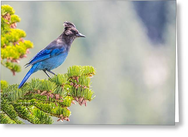 Stellars Jay Greeting Card by Martin  Gollery