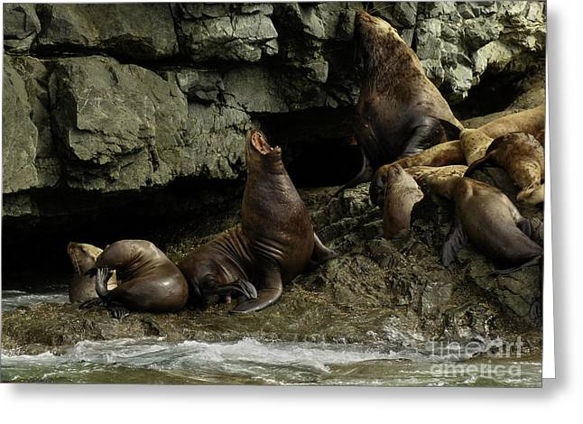 Alaskan Steller Sea Lions #3 Greeting Card
