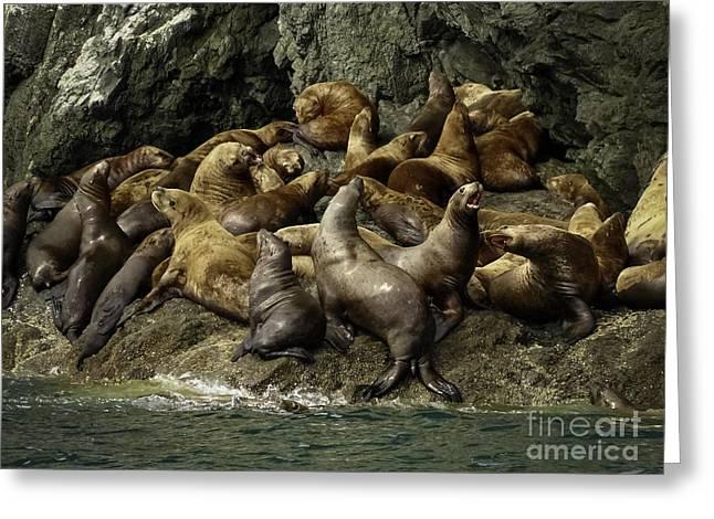 Alaskan Steller Sea Lions #4 Greeting Card