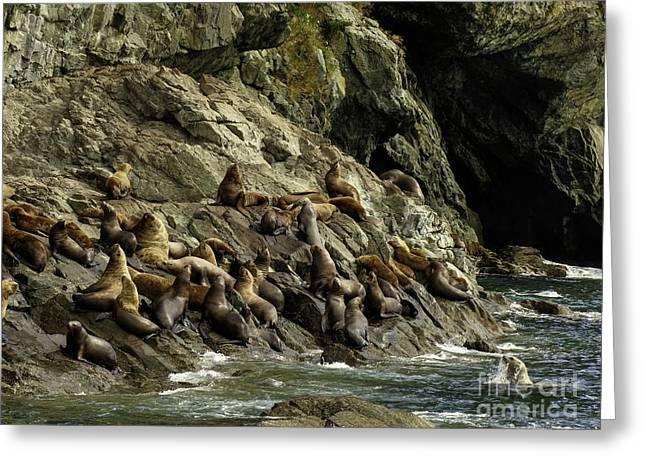 Alaskan Steller Sea Lions #5 Greeting Card