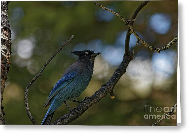 Steller's Jay In The Rockies Greeting Card