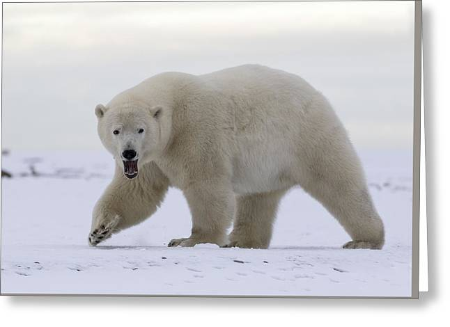 Stepping Out In The Arctic Greeting Card
