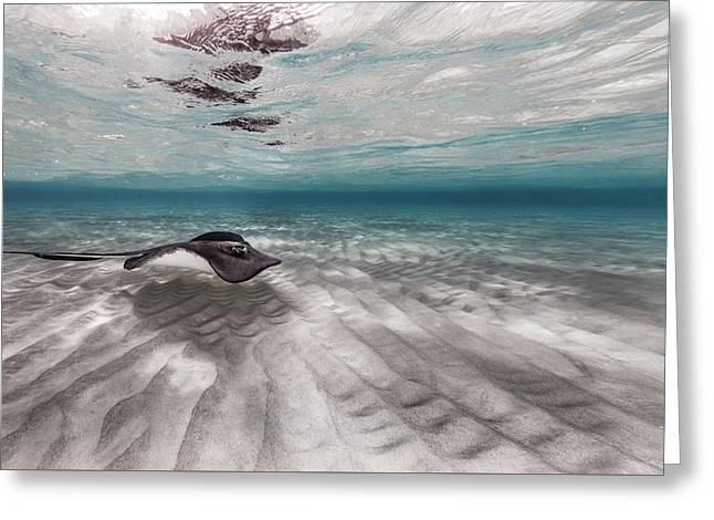 Stingray Across The Sand Greeting Card