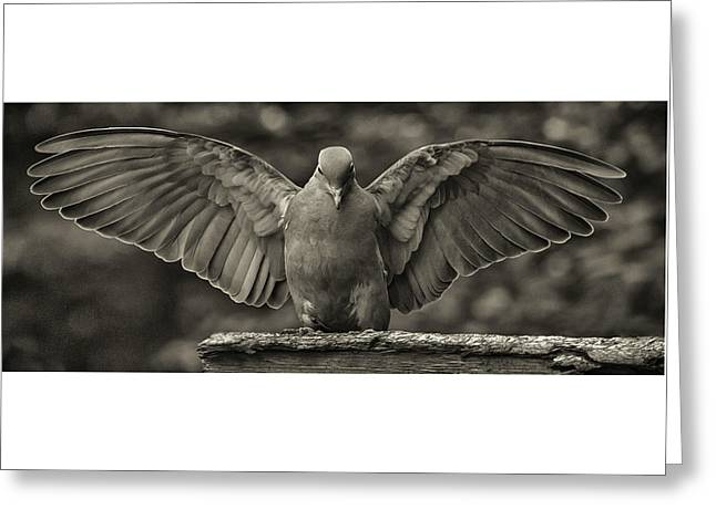 Stone Dove Landing Greeting Card by Jim Moore