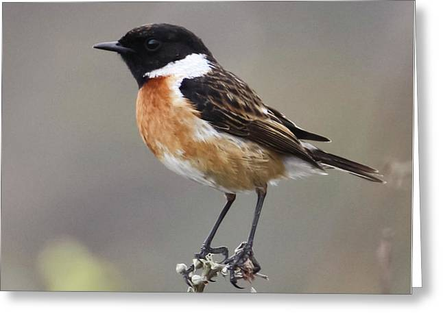Stonechat Greeting Card by Terri Waters