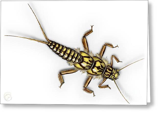 Stonefly Larva Nymph Plecoptera Perla Marginata - Steinflue -  Greeting Card