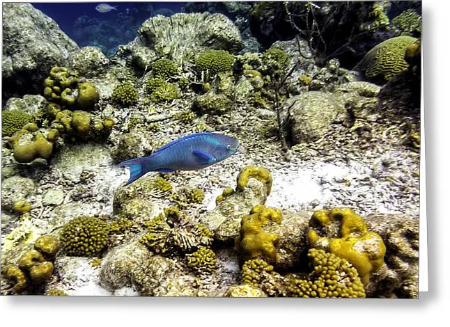 Greeting Card featuring the photograph Stoplight Parrotfish  by Perla Copernik