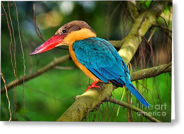 Stork-billed Kingfisher Greeting Card