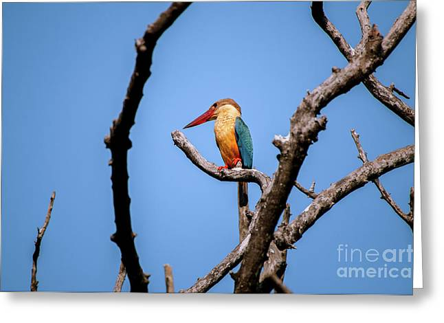 Stork-billed Kingfisher Greeting Card by Venura Herath