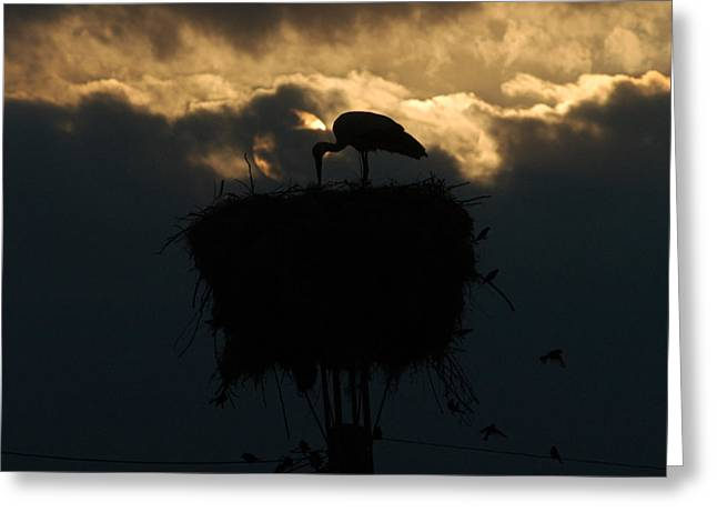 Stork With Evening Sun Light  Greeting Card