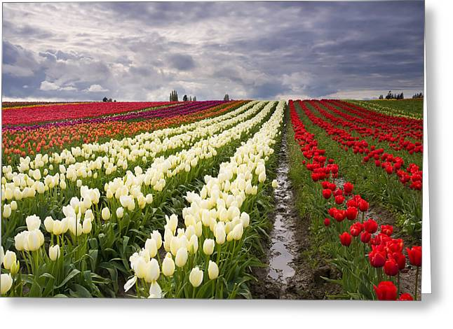 Storm Over Tulips Greeting Card by Mike  Dawson