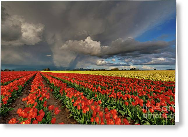 Storm Tulips Greeting Card