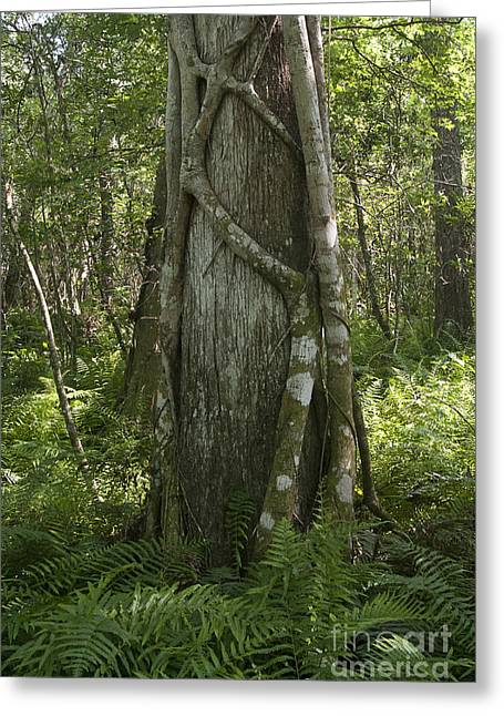Strangler Fig And Cypress Tree, Florida Greeting Card by Scott Camazine