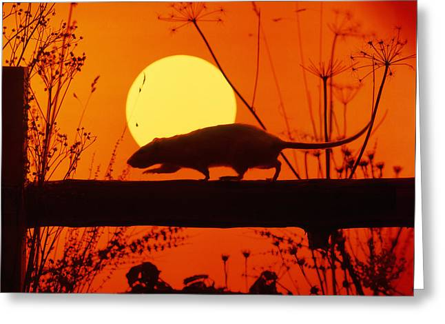 Stranglers Rattus Norvegicus Rat Greeting Card