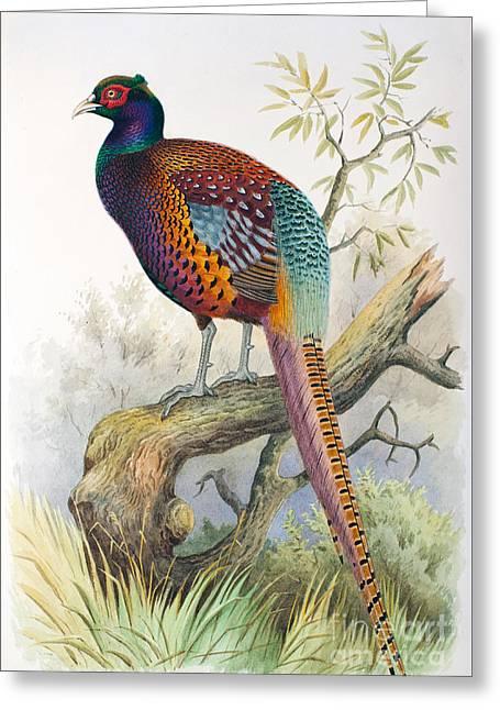Strauchs Pheasant Greeting Card