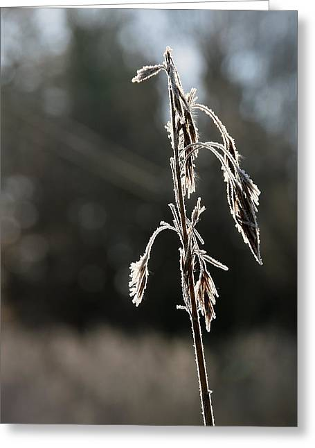 Straw In Backlight Greeting Card
