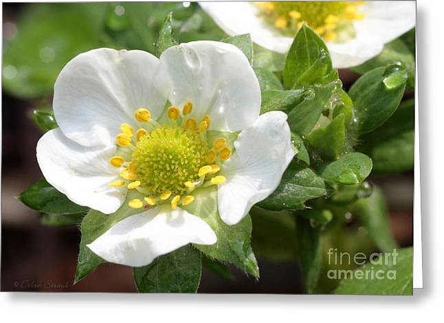 Strawberry Blossoms Greeting Card
