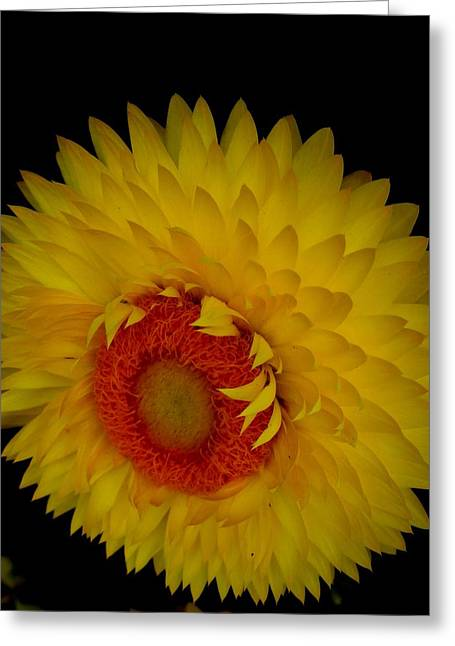 Greeting Card featuring the photograph Strawflower by Jeanette Oberholtzer