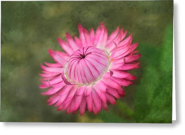 Strawflower Greeting Card by Kim Hojnacki
