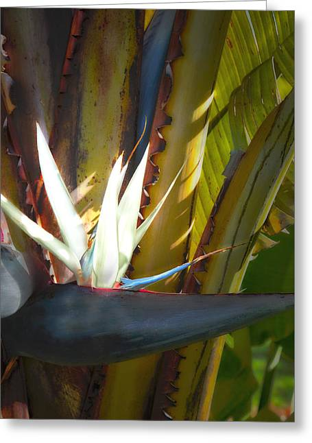Strelitzia Nicolai Greeting Card by John Bartosik