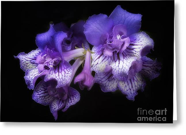 Streptocarpus 'blue Frills' Greeting Card
