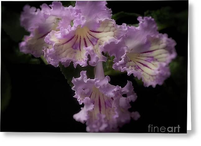 Streptocarpus 'renia' Greeting Card