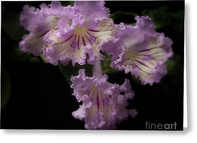 Streptocarpus 'renia' Greeting Card