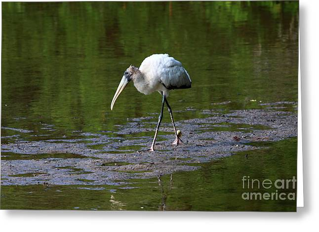 Striding Wood Stork Greeting Card by Christiane Schulze Art And Photography