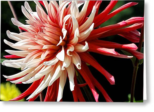 Striking Dahlia Red And White Greeting Card