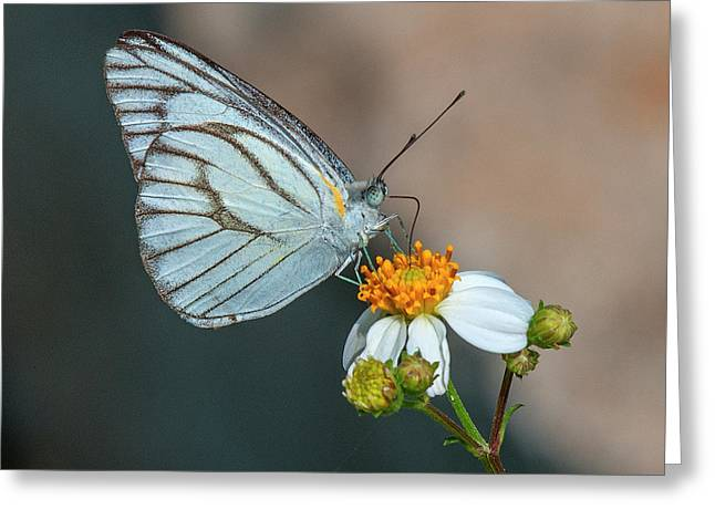 Striped Albatross Butterfly Dthn0209 Greeting Card