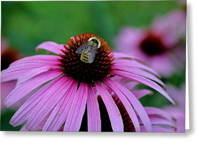 Striped Bumble Bee Greeting Card by Martin Morehead