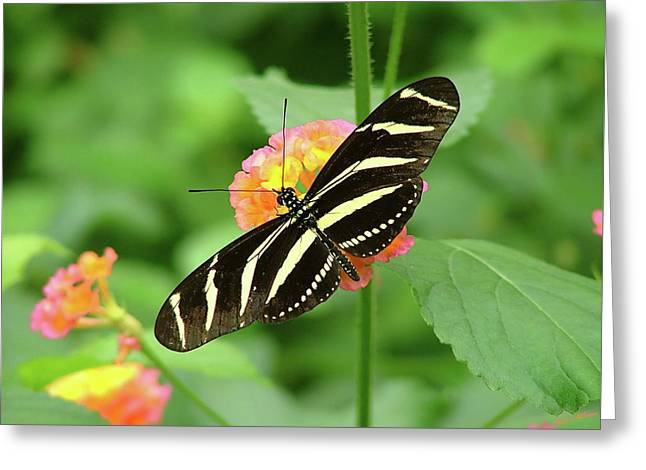 Striped Butterfly Greeting Card by Wendy McKennon