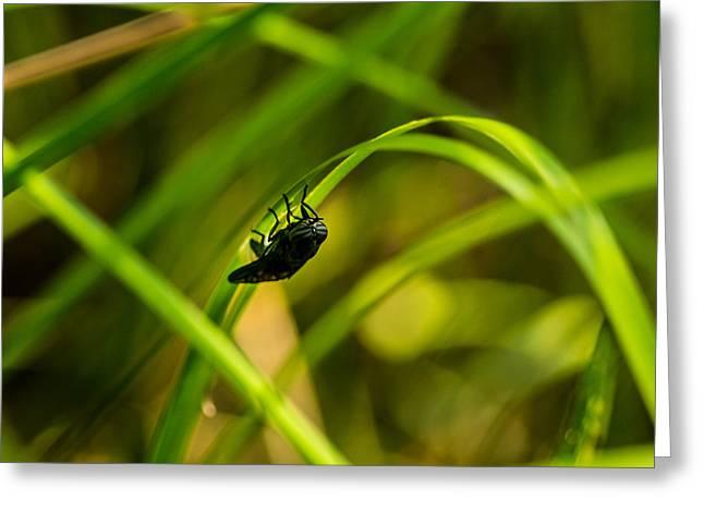 Diptera Greeting Cards - Striped Eye Biting Fly Greeting Card by Douglas Barnett