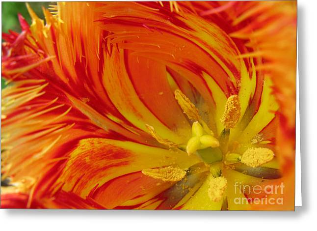 Greeting Card featuring the photograph Striped Parrot Tulips. Olympic Flame by Ausra Huntington nee Paulauskaite