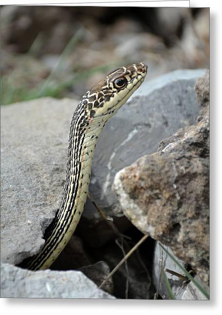 Striped Whipsnake, Masticophis Taeniatus Greeting Card