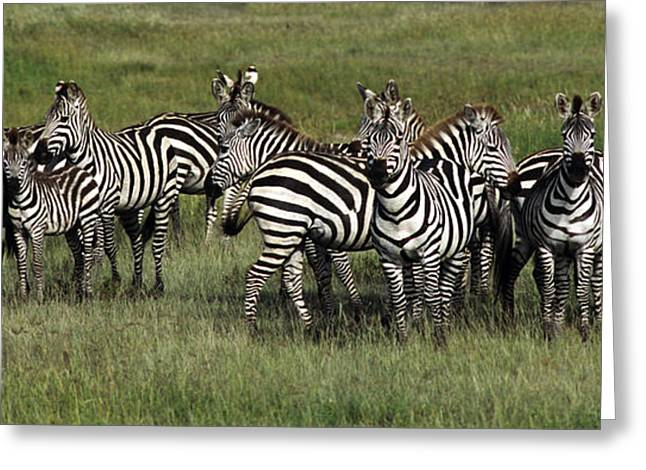 Stripes - Serengeti Plains Greeting Card by Craig Lovell