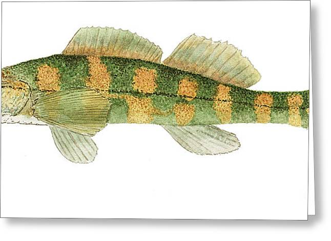 Greeting Card featuring the painting Study Of A Green Sided Darter by Thom Glace
