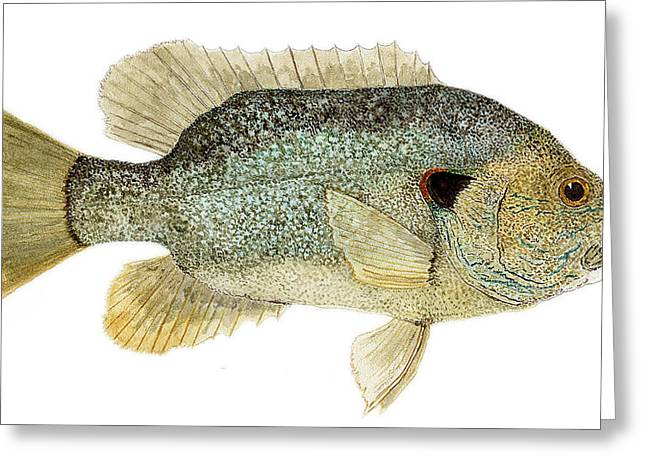 Greeting Card featuring the painting Study Of A Green Sunfish by Thom Glace