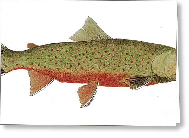 Study Of A Male Dolly Varden Char Greeting Card