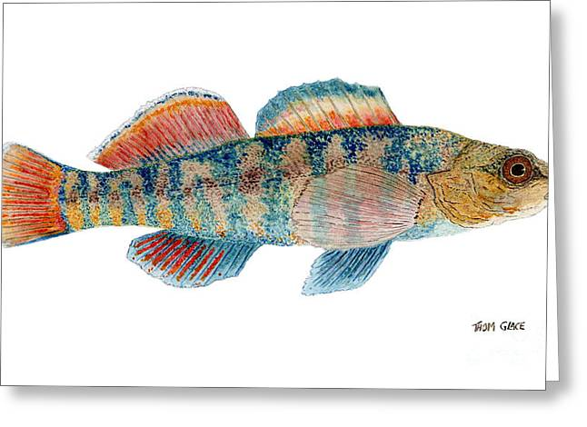 Greeting Card featuring the painting Study Of A Rainbow Darter by Thom Glace