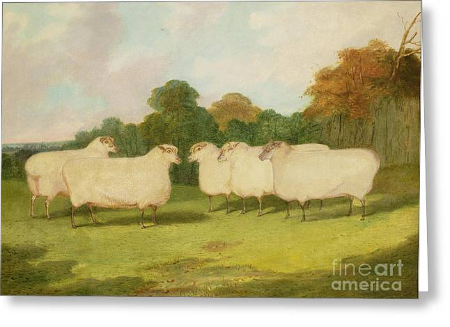 Farmyard Greeting Cards - Study of Sheep in a Landscape   Greeting Card by Richard Whitford