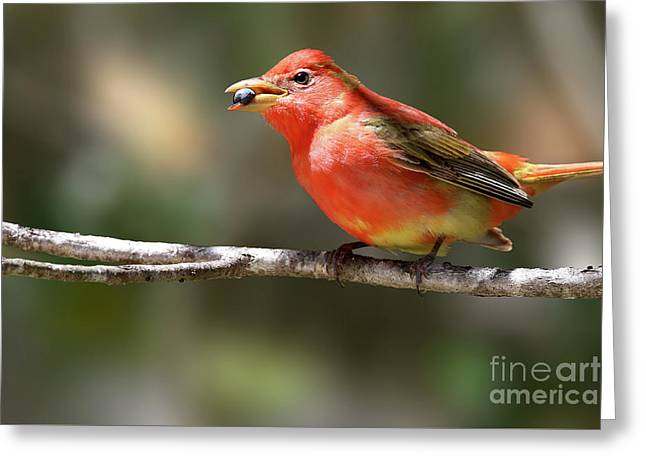 Stuffed Summer Tanager Greeting Card