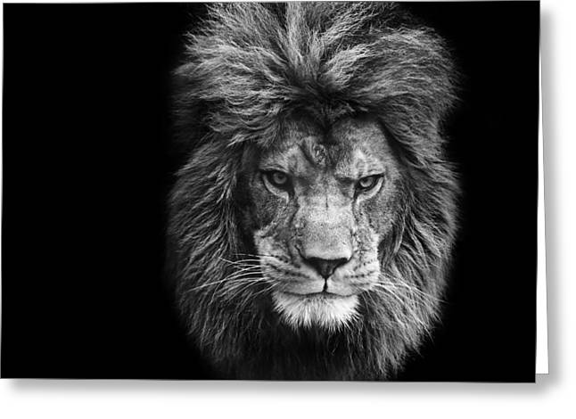 Stunning Black And White Portrait Of Barbary Lion On Black Background Greeting Card by Matthew Gibson