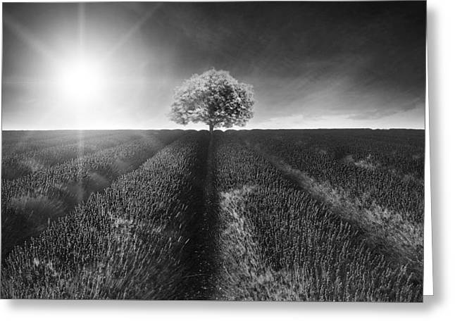 Stunning Lavender Field Landscape Summer Sunset In Monochrome Greeting Card