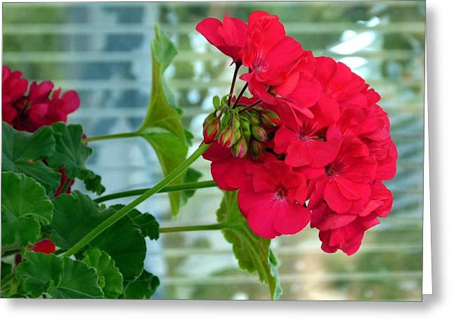 Stunning Red Geranium Greeting Card by Will Borden