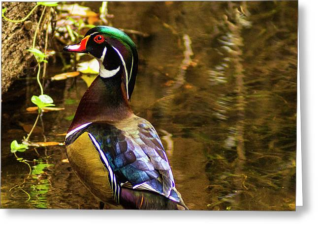 Stunning Wood Duck Greeting Card