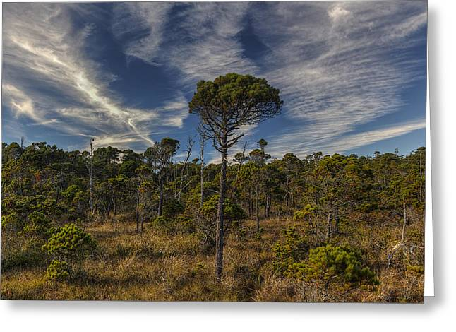 Stunted Ancient Forest Greeting Card by Mark Kiver