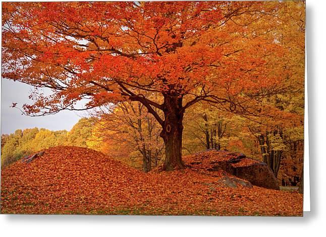 Sturdy Maple In Autumn Orange Greeting Card