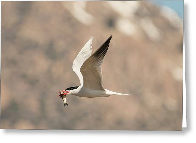 Successful Caspian Tern Greeting Card by Loree Johnson