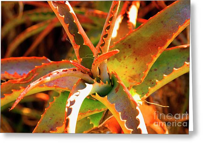 Succulent Greeting Card by K D Graves